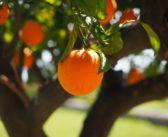 طريقة زراعة شجرة البرتقال في حديقتك
