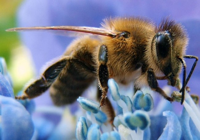 طرد-النحل
