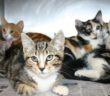 5 فوائد صحية لتربية القطط الأليفة Breeding cats